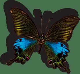 חדר הפלאות- Butterlfy